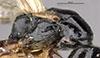 http://mczbase.mcz.harvard.edu/specimen_images/entomology/large/MCZ-ENT00031620_Epyris_cochise_thl.jpg