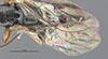 http://mczbase.mcz.harvard.edu/specimen_images/entomology/large/MCZ-ENT00031622_Epyris_crassifemur_fwg.jpg