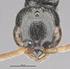 http://mczbase.mcz.harvard.edu/specimen_images/entomology/large/MCZ-ENT00031622_Epyris_crassifemur_hef.jpg