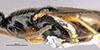 http://mczbase.mcz.harvard.edu/specimen_images/entomology/large/MCZ-ENT00031622_Epyris_crassifemur_thl.jpg