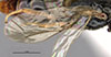 http://mczbase.mcz.harvard.edu/specimen_images/entomology/large/MCZ-ENT00031623_Epyris_insolitus_fwg.jpg
