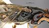 http://mczbase.mcz.harvard.edu/specimen_images/entomology/large/MCZ-ENT00031623_Epyris_insolitus_thl.jpg