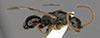 http://mczbase.mcz.harvard.edu/specimen_images/entomology/large/MCZ-ENT00031624_Epyris_reclusus_hal.jpg