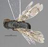 http://mczbase.mcz.harvard.edu/specimen_images/entomology/large/MCZ-ENT00031625_Epyris_squamosus_had.jpg