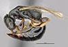 http://mczbase.mcz.harvard.edu/specimen_images/entomology/large/MCZ-ENT00031625_Epyris_squamosus_hal.jpg