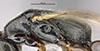 http://mczbase.mcz.harvard.edu/specimen_images/entomology/large/MCZ-ENT00031625_Epyris_squamosus_thl.jpg