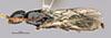 http://mczbase.mcz.harvard.edu/specimen_images/entomology/large/MCZ-ENT00031626_Epyris_jugatus_had.jpg