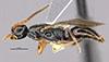 http://mczbase.mcz.harvard.edu/specimen_images/entomology/large/MCZ-ENT00031626_Epyris_jugatus_hal.jpg