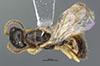http://mczbase.mcz.harvard.edu/specimen_images/entomology/large/MCZ-ENT00031731_Pseudisobrachium_bruesi_had.jpg