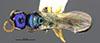 http://mczbase.mcz.harvard.edu/specimen_images/entomology/large/MCZ-ENT00031742_Rhabdepyris_versicolor_had.jpg
