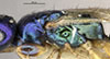 http://mczbase.mcz.harvard.edu/specimen_images/entomology/large/MCZ-ENT00031742_Rhabdepyris_versicolor_thl.jpg