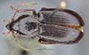 http://mczbase.mcz.harvard.edu/specimen_images/entomology/large/MCZ-ENT00031862_Fortagonum_antecessor_had.jpg