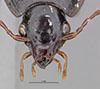http://mczbase.mcz.harvard.edu/specimen_images/entomology/large/MCZ-ENT00031862_Fortagonum_antecessor_hef.jpg