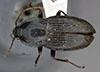 http://mczbase.mcz.harvard.edu/specimen_images/entomology/large/MCZ-ENT00031864_Fortagonum_okapa_had.jpg