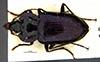 http://mczbase.mcz.harvard.edu/specimen_images/entomology/large/MCZ-ENT00031866_Fortagonum_hornabrooki_had.jpg