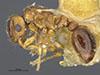 http://mczbase.mcz.harvard.edu/specimen_images/entomology/large/MCZ-ENT00031897_Xiphomyrmex_papyri_hal.jpg