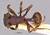http://mczbase.mcz.harvard.edu/specimen_images/entomology/large/MCZ-ENT00031999_Blepharidatta_canops_had.jpg
