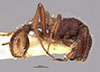 http://mczbase.mcz.harvard.edu/specimen_images/entomology/large/MCZ-ENT00031999_Blepharidatta_canops_hal.jpg