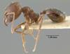 Media of type image, MCZ:Ent:32036 Identified as Pheidole tijucana type status Paratype of Pheidole tijucana. . Aspect: habitus lateral view