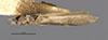 http://mczbase.mcz.harvard.edu/specimen_images/entomology/large/MCZ-ENT00032109_Atopsyche_cubana_had.jpg