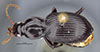 http://mczbase.mcz.harvard.edu/specimen_images/entomology/large/MCZ-ENT00032227_Cyrtolaus_newtoni_had.jpg