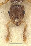 http://mczbase.mcz.harvard.edu/specimen_images/entomology/large/MCZ-ENT00032272_Tetramorium_smithi_hef.jpg