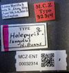 http://mczbase.mcz.harvard.edu/specimen_images/entomology/large/MCZ-ENT00032314_Holepyris_longulus_lbs.jpg