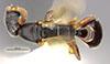 http://mczbase.mcz.harvard.edu/specimen_images/entomology/large/MCZ-ENT00032315_Holepyris_graminis_had.jpg