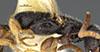 http://mczbase.mcz.harvard.edu/specimen_images/entomology/large/MCZ-ENT00032315_Holepyris_graminis_thl.jpg