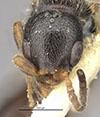 http://mczbase.mcz.harvard.edu/specimen_images/entomology/large/MCZ-ENT00032318_Holepyris_montivagus_hef.jpg