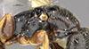 http://mczbase.mcz.harvard.edu/specimen_images/entomology/large/MCZ-ENT00032318_Holepyris_montivagus_thl.jpg