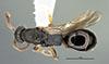 http://mczbase.mcz.harvard.edu/specimen_images/entomology/large/MCZ-ENT00032319_Holepyris_coriaceus_had.jpg