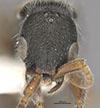 http://mczbase.mcz.harvard.edu/specimen_images/entomology/large/MCZ-ENT00032319_Holepyris_coriaceus_hef.jpg