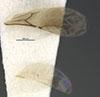 http://mczbase.mcz.harvard.edu/specimen_images/entomology/large/MCZ-ENT00032319_Holepyris_coriaceus_win.jpg