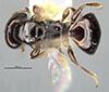 http://mczbase.mcz.harvard.edu/specimen_images/entomology/large/MCZ-ENT00032407_Cephalonomia_quadriceps_had.jpg