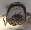 http://mczbase.mcz.harvard.edu/specimen_images/entomology/large/MCZ-ENT00032407_Cephalonomia_quadriceps_hef.jpg