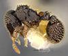 http://mczbase.mcz.harvard.edu/specimen_images/entomology/large/MCZ-ENT00032537_Calyptomyrmex_duhun_hala.jpg