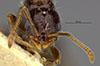 http://mczbase.mcz.harvard.edu/specimen_images/entomology/large/MCZ-ENT00032921_Monomorium_minimum_hef.jpg