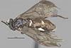 http://mczbase.mcz.harvard.edu/specimen_images/entomology/large/MCZ-ENT00033391_Haplostegus_dorius_had.jpg