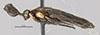 http://mczbase.mcz.harvard.edu/specimen_images/entomology/large/MCZ-ENT00033392_Perreyiella_wanata_hal.jpg