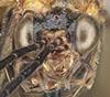 http://mczbase.mcz.harvard.edu/specimen_images/entomology/large/MCZ-ENT00033397_Aulacomerus_pullus_hef.jpg