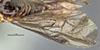 http://mczbase.mcz.harvard.edu/specimen_images/entomology/large/MCZ-ENT00033399_Giladeus_tuxius_fwg.jpg