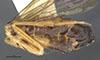 http://mczbase.mcz.harvard.edu/specimen_images/entomology/large/MCZ-ENT00033401_Acorduloceridea_miacha_hala.jpg