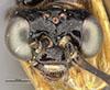 http://mczbase.mcz.harvard.edu/specimen_images/entomology/large/MCZ-ENT00033401_Acorduloceridea_miacha_hef.jpg
