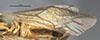 http://mczbase.mcz.harvard.edu/specimen_images/entomology/large/MCZ-ENT00033408_Aulacomeris_nastus_fwg.jpg