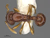 http://mczbase.mcz.harvard.edu/specimen_images/entomology/large/MCZ-ENT00033775_Baracidris_sitra_hada.jpg