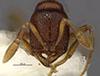 http://mczbase.mcz.harvard.edu/specimen_images/entomology/large/MCZ-ENT00033775_Baracidris_sitra_hefa.jpg