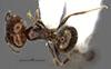 http://mczbase.mcz.harvard.edu/specimen_images/entomology/large/MCZ-ENT00034270_Pheidole_macrops_hada.jpg
