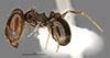 http://mczbase.mcz.harvard.edu/specimen_images/entomology/large/MCZ-ENT00034270_Pheidole_macrops_hala.jpg
