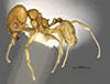 http://mczbase.mcz.harvard.edu/specimen_images/entomology/large/MCZ-ENT00034276_Pheidole_metana_hala.jpg